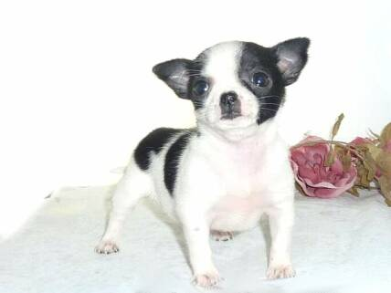 Chihuahua Puppies for sale, teacup chihuahuas for sale