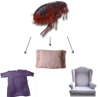 Fleas on couches, clothes, furniture. Treat fleas fast!