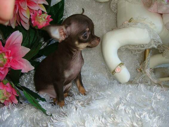 teacup and toy puppies Chihuahuas