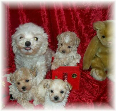 Teacup Maltipoo Puppies for Sale Cheap